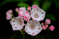 Wild Mountain Laurel