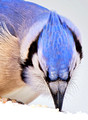 'Blue Jay Whiskers'